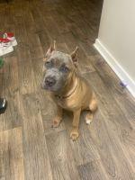 Cane Corso Puppies for sale in 2121 Windy Hill Rd, Marietta, GA 30060, USA. price: NA