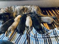Cane Corso Puppies for sale in King George, VA 22485, USA. price: NA