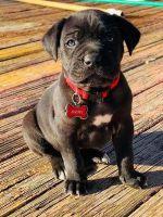 Cane Corso Puppies for sale in Memphis, TN 38134, USA. price: NA