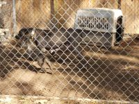 Cane Corso Puppies for sale in Chattanooga, TN, USA. price: NA