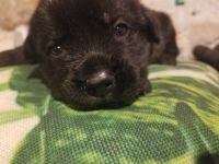 Cane Corso Puppies for sale in Youngstown, OH, USA. price: NA