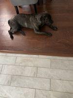 Cane Corso Puppies for sale in Willingboro, NJ, USA. price: NA