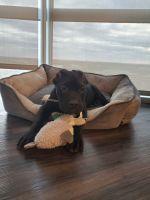 Cane Corso Puppies for sale in Vienna, VA 22180, USA. price: NA