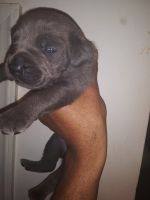 Cane Corso Puppies for sale in Richmond, VA, USA. price: NA