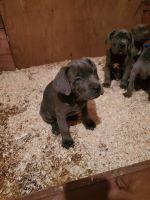Cane Corso Puppies for sale in Lodi, CA, USA. price: NA