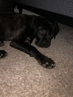 Cane Corso Puppies for sale in Stafford Courthouse, VA 22554, USA. price: NA