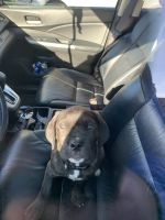 Cane Corso Puppies for sale in 3647 West Blvd, Los Angeles, CA 90016, USA. price: NA