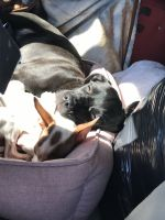 Cane Corso Puppies for sale in Plainville, CT 06062, USA. price: NA