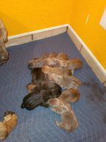 Cane Corso Puppies for sale in Farmington, NM, USA. price: NA