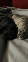 Cane Corso Puppies for sale in Harvey, LA, USA. price: NA
