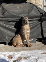 Cane Corso Puppies for sale in Brighton, Boston, MA, USA. price: NA