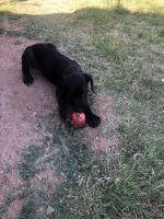 Cane Corso Puppies for sale in Mesa, AZ, USA. price: NA