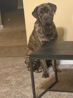 Cane Corso Puppies for sale in 4848 Hidden Creek Pl, Decatur, GA 30035, USA. price: NA