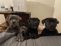 Cane Corso Puppies for sale in Gardena, CA, USA. price: NA