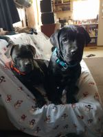 Cane Corso Puppies for sale in Wellington, CO 80549, USA. price: NA