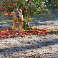 Cane Corso Puppies for sale in Walterboro, SC 29488, USA. price: NA