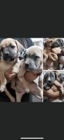 Cane Corso Puppies for sale in Pueblo, CO 81005, USA. price: NA