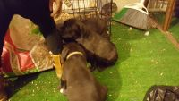 Cane Corso Puppies for sale in Milwaukee, WI, USA. price: NA