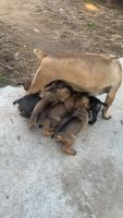 Cane Corso Puppies for sale in Bridgeport, CT, USA. price: NA