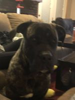 Cane Corso Puppies for sale in 2008 Forget Me not Ln, Wingate, NC 28174, USA. price: NA