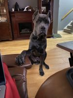 Cane Corso Puppies for sale in Jersey City, NJ, USA. price: NA