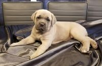 Cane Corso Puppies for sale in Sioux City, IA 51104, USA. price: NA