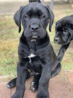 Cane Corso Puppies for sale in Pomona, CA, USA. price: NA