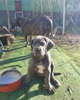 Cane Corso Puppies for sale in California City, CA, USA. price: NA