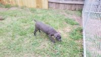 Cane Corso Puppies for sale in Spring, TX 77373, USA. price: NA