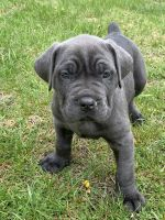 Cane Corso Puppies for sale in Elmhurst, IL, USA. price: NA