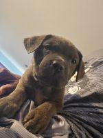 Cane Corso Puppies for sale in Savannah, GA, USA. price: NA