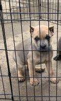 Cane Corso Puppies for sale in Joliet, IL 60431, USA. price: NA