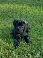 Cane Corso Puppies for sale in Lexington County, SC, USA. price: NA