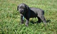 Cane Corso Puppies for sale in Abbeville, SC 29620, USA. price: NA