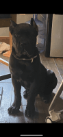 Cane Corso Puppies for sale in Midlothian, IL 60445, USA. price: NA