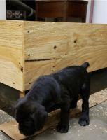 Cane Corso Puppies for sale in El Paso, TX, USA. price: NA