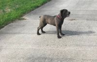 Cane Corso Puppies for sale in West Palm Beach, FL, USA. price: NA