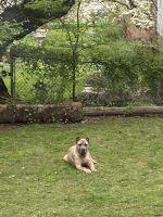 Cane Corso Puppies for sale in Irvington, NJ 07111, USA. price: NA