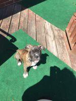 Cane Corso Puppies for sale in Hampton, VA, USA. price: NA