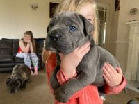 Cane Corso Puppies for sale in New York, NY 10012, USA. price: NA