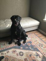 Cane Corso Puppies for sale in San Antonio, TX, USA. price: NA