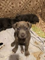 Cane Corso Puppies for sale in 450 Sheepbridge Rd, York Haven, PA 17370, USA. price: NA