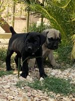 Cane Corso Puppies for sale in Riverside County, CA, USA. price: NA