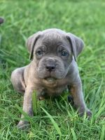 Cane Corso Puppies for sale in 14902 Lackland Pl, Denver, CO 80239, USA. price: NA