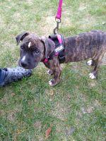 Cane Corso Puppies for sale in Harvard, IL 60033, USA. price: NA