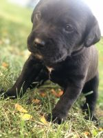 Cane Corso Puppies for sale in Leipsic, OH 45856, USA. price: NA