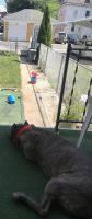 Cane Corso Puppies for sale in Reading, PA, USA. price: NA