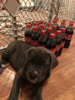 Cane Corso Puppies for sale in Chesapeake, VA, USA. price: NA