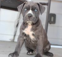 Cane Corso Puppies for sale in Los Angeles, CA, USA. price: NA