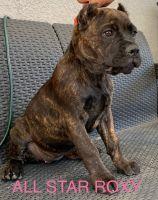 Cane Corso Puppies for sale in Murrieta, CA, USA. price: NA